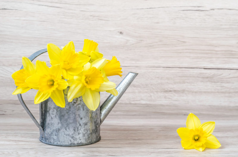 Daffodils,In,Silver,Watering,Can,On,A,Wooden,Background,